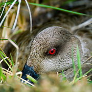 A Falklands or Southern crested duck (Lophonetta specularioides) nests on Carcass Island in the Falkland Islands.