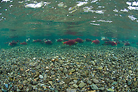 Sockeye Salmon Holding in a clear pool..Kanektok River..shot in Alaska, USA..
