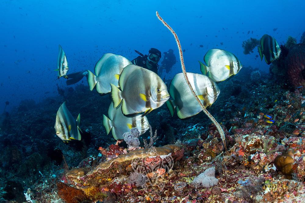Diver observes Batfish<br /> <br /> Shot in Indonesia