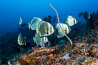 Diver observes Batfish<br /> <br /> Shot in Indonesia