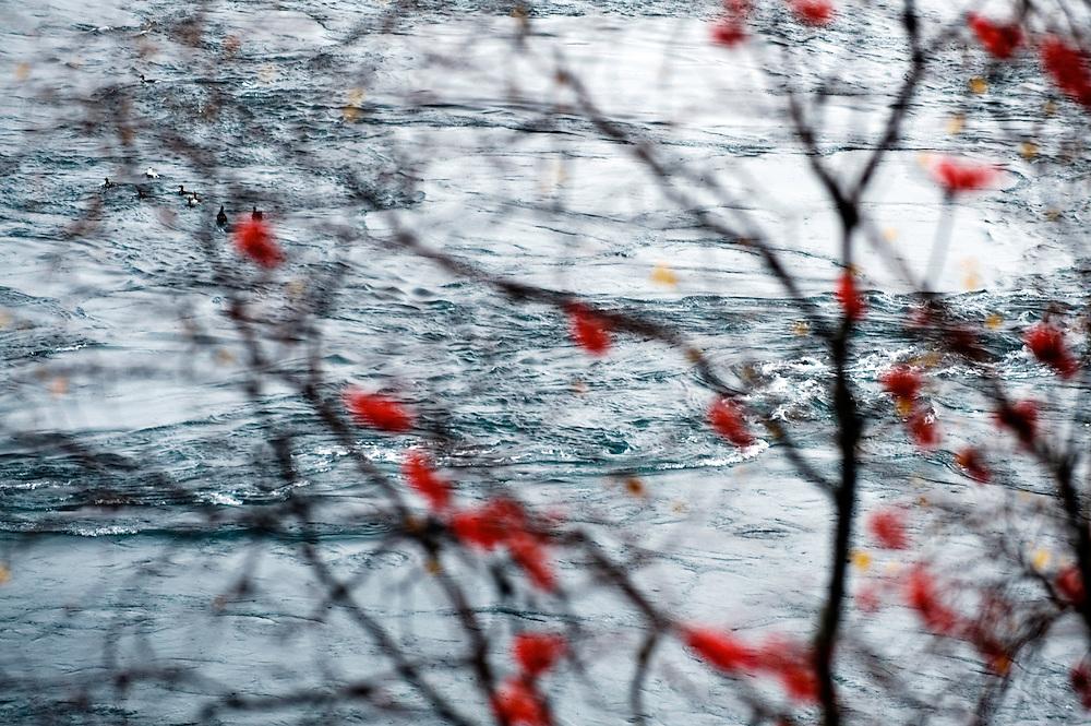 Whirlpool in Okselb&aring;sen, Saltstraumen<br /> Atlantic marine life, Bod&ouml;, Norway