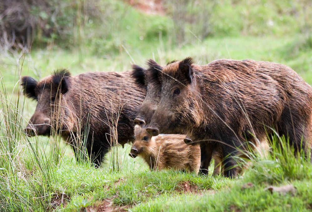 Iberian Wild Boar (Sus scrofa baeticus) with piglets, Cazorla National Park, Jaen Province, Andalucia, Spain