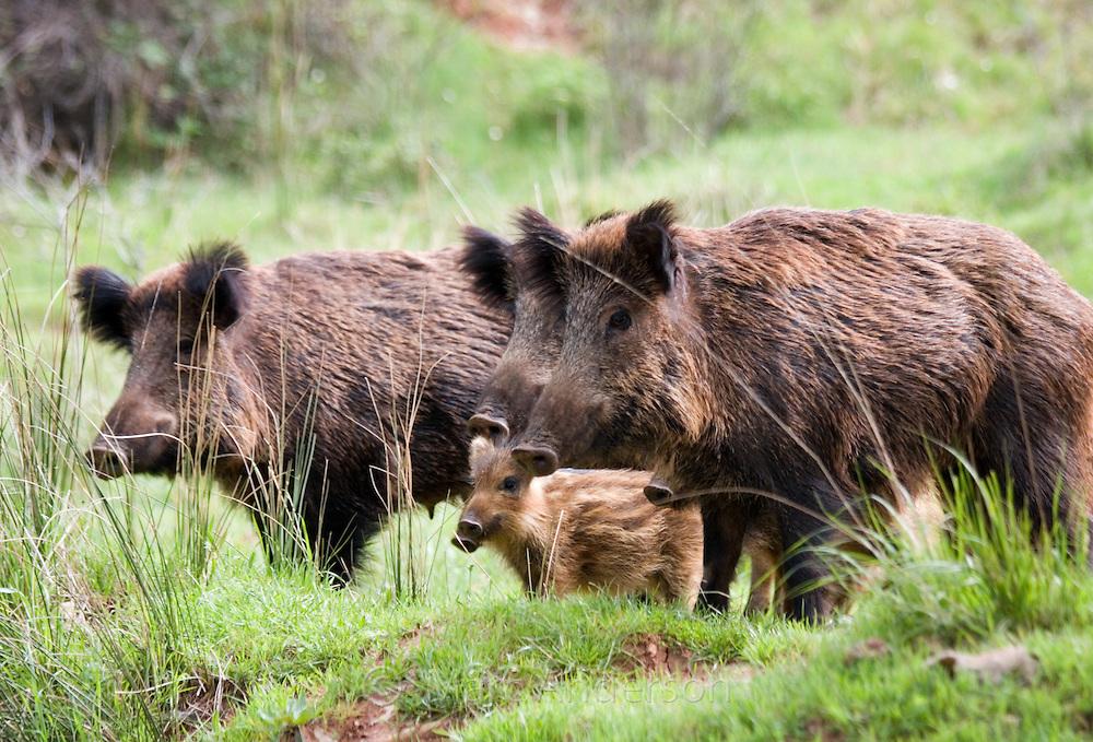 Iberian Wild Boar (Sus scrofa baeticus) with piglets, Cazorla National Park, Jaen Province, Andalucia, Spain