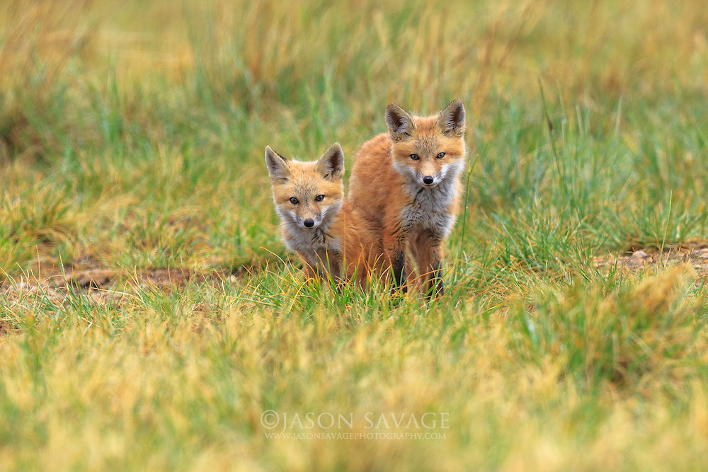 Red Fox Kits play near the Lake Helena Wildlife Management Area. Helena, Montana.