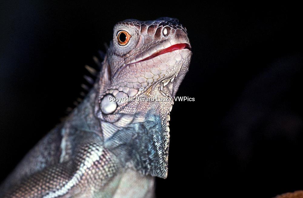 Green Iguana, iguana iguana, Portrait of Adult against Black Background