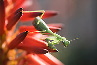 Praying Mantis on aloe flower, Bredasdorp, Western Cape, South Africa