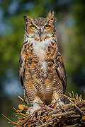 A male Great Horned Owl (Bubo virginianus) at Wildlife Rescue, Inc. of New Mexico (wrinm.org)
