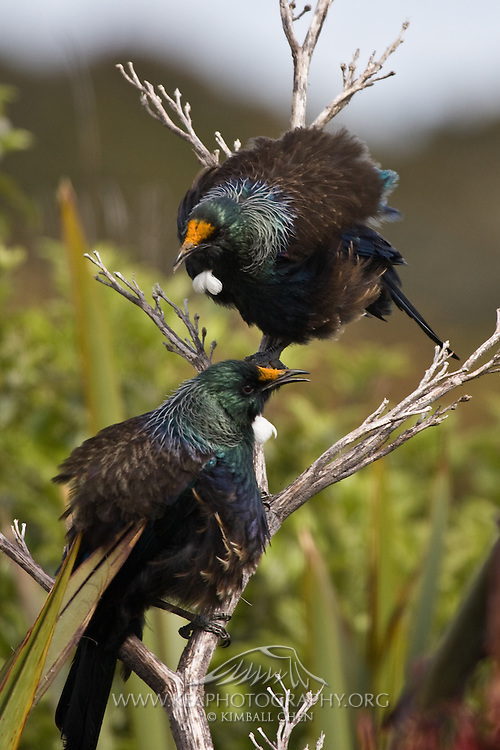 Tui, Riverton, New Zealand