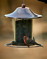 House Finch on a Bird Feeder. Image taken with a Nikon D5 camera and 80-400 mm VRII lens (ISO 720, 400 mm, f/5.6, 1/400 sec).