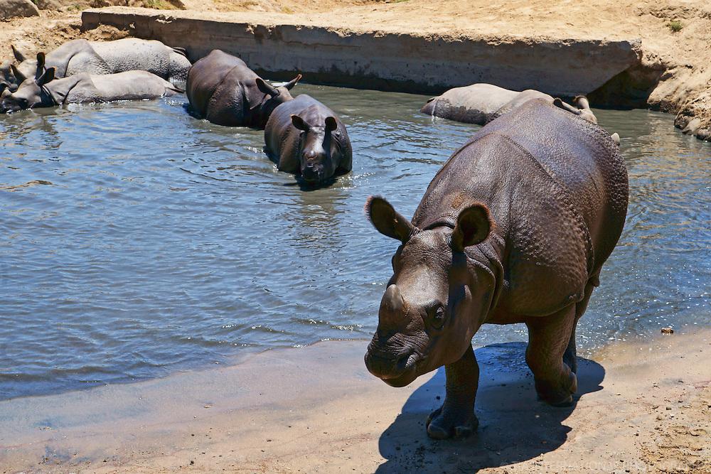 Black Rhinoceroses Pool Party