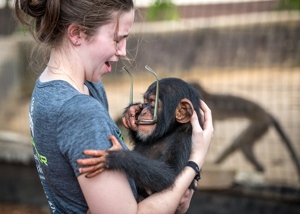 Young woman holding chimpanzee (Pan troglodytes) is surprised by chimpanzee taking her glasses and putting them in his mouth. Ganta Liberia