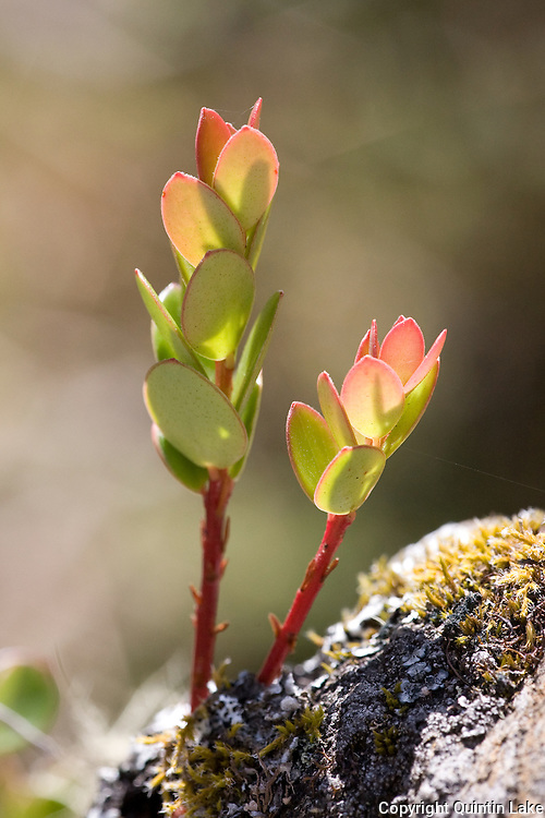 Succulent plant growing on an outcrop high above Ollachea, Puno in the Peuvian Andes