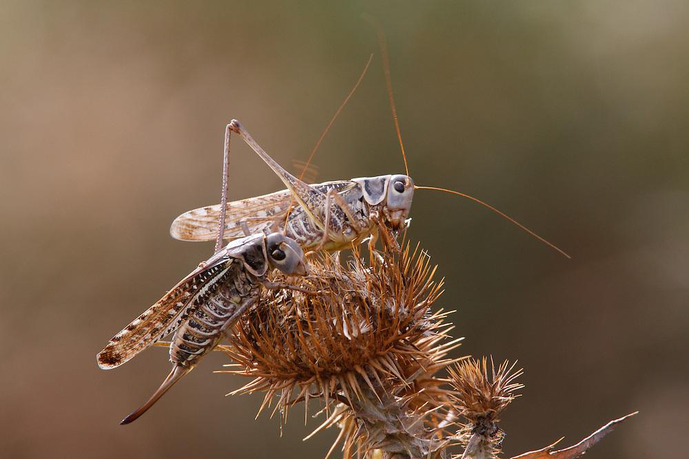 Migratory Locusts feeding on vegetation, Bagerova Steppe, Kerch Peninsula, Crimea, Ukraine