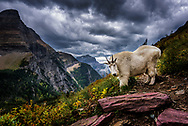 Rocky Mountain Goat in front of Bearhat Mountain in Glacier National Park, Montana