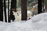 Albino Whitetail buck in winter habitat