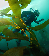 A diver make their way along the bottom of the ocean in a kelp forest at Monterey.