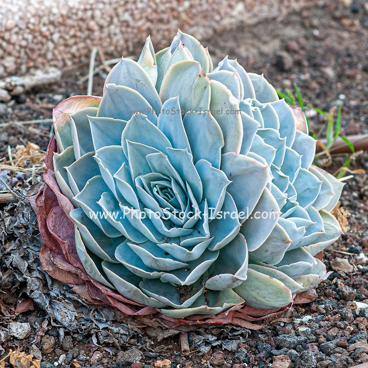 Blue Sempervivum houseleek in a Cactus and succulent garden Photographed in Tel Aviv, Israel in May