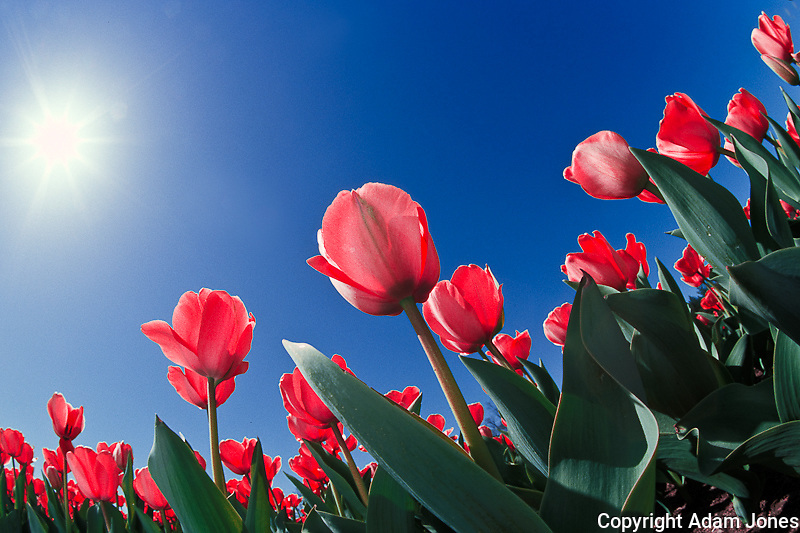 Red tulips from very low angle, Cincinnati, Ohio
