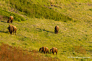 Bison grazing at the National Bison Range near Moiese, Montana, USA