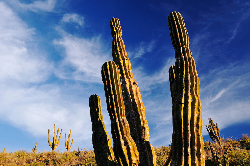 Cactus at Punta Gorda, Ventana Bay, Sea of Cortez, Baja California Sur, Mexico