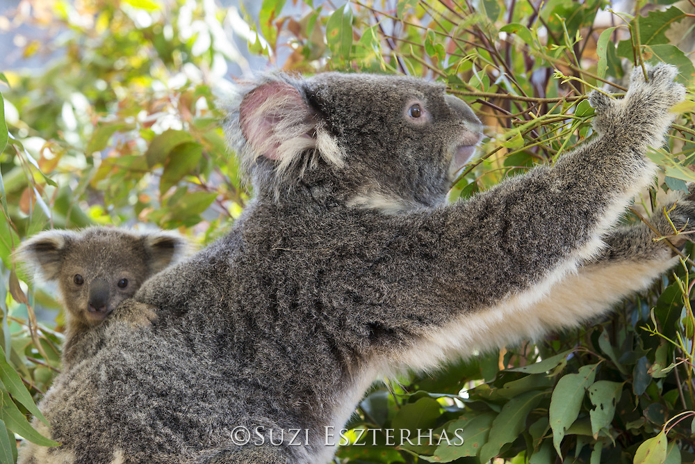 Koala<br /> Phascolarctos cinereus<br /> Mother and eight-month-old joey <br /> Queensland, Australia<br /> *Captive