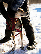 A sled dog gets harnessed up during the Babe Southwick Memorial race on Feb.18, 2017 outside Whitehorse.