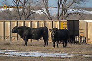 Black Angus bulls in pasture in Choteau, Montana, USA