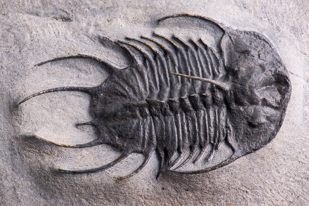 This Olenoides abbotti (sagittal length: 79mm; total length: 109mm) is an extremely rare olenellid trilobite from the Middle Cambrian strata of Utah.