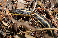 Garter Snake Along the Trail While Hiking in Big Sur. Image taken with a Nikon D3s and 50 mm f/1.4G lens (ISO 200, 50 mm, f/7.1, 1/200 sec).
