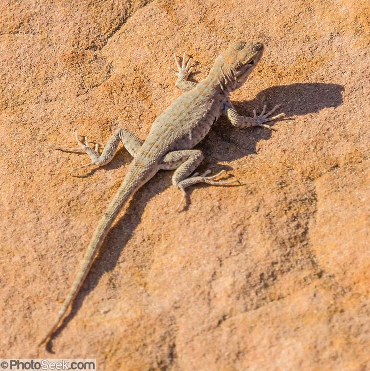 Lizard. Capitol Gorge, Capitol Reef National Park, Utah, USA.