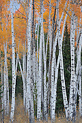 Fall, Autumn, Aspens, Aspen, Aspen tree, Oxbow, Grand Teton National Park, Jackson, Wyoming