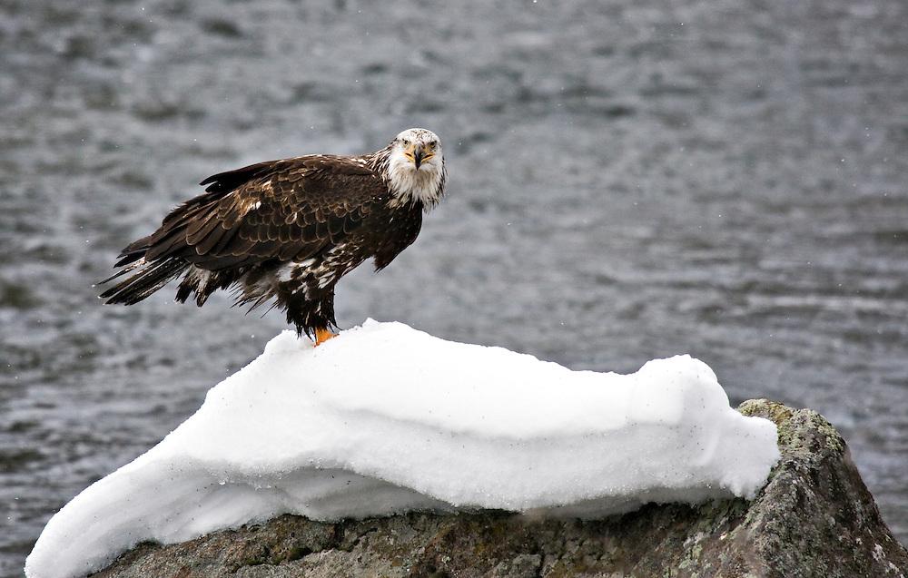 Madison River Bald Eagle