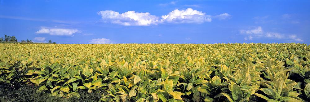 Tobacco ripens in the Lexington area of Kentucky.
