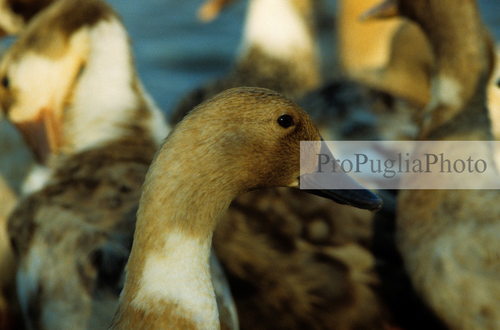 Tamil Nadu, India 1994. Portrait of a wild duck