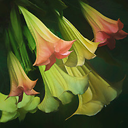 Fresh painterly rendition of orange and yellow Angels Trumpets flowers on a green background