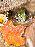 Macro photograph of a Green Frog (Rana clamitans) found in a small tributary stream to Little Rouge Creek on a warm fall day, Pickering, Ontario, Canada