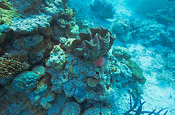 A giant clam in the Clerke Channel at the Rowley Shoals.