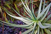 Aloe plant, Allerton Gardens, Poipu, Kauai