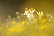 Plestine iris (Iris palaestina) (AKA Israeli Iris) white spring flower, Photographed in Israel in January