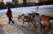 In the Reindeer farm of Tuula Airamo, a S·mi descendant, by Muttus Lake. Inari, Lapland, Finland