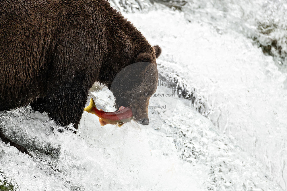 An adult Brown Bear known as 151 Walker, catches spawning Sockeye Salmon at the lip of Brooks Falls in Katmai National Park and Preserve September 15, 2019 near King Salmon, Alaska. The park spans the worlds largest salmon run with nearly 62 million salmon migrating through the streams which feeds some of the largest bears in the world.