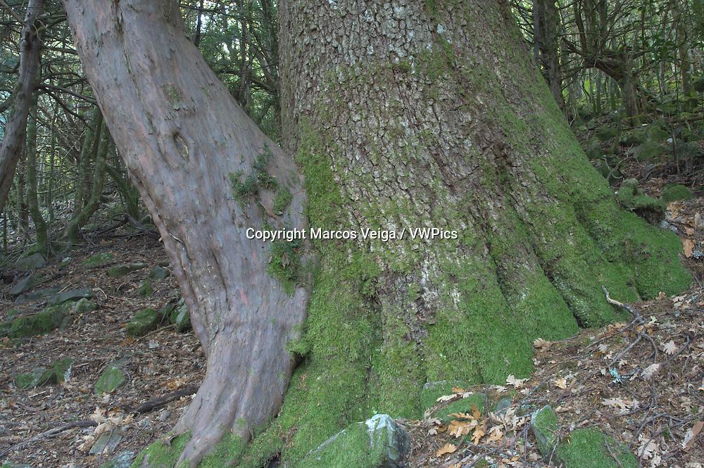 Yew and Oak united.