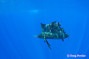 Pacific sailfish, Istiophorus platypterus, Vava'u, Kingdom of Tonga, South Pacific