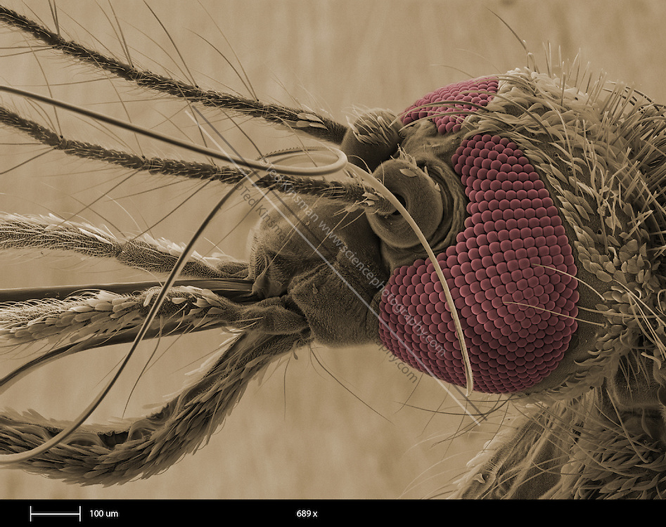 Female mosquito head (family Culicidae).  The individual eye lenses detect levels of light and dark in different directions.  Several mosquito species are vectors for human diseases, including malaria and yellow fever.   This is a scanning electron microscope image.  The calibration bar is 100 um and the magnification is 689 x.