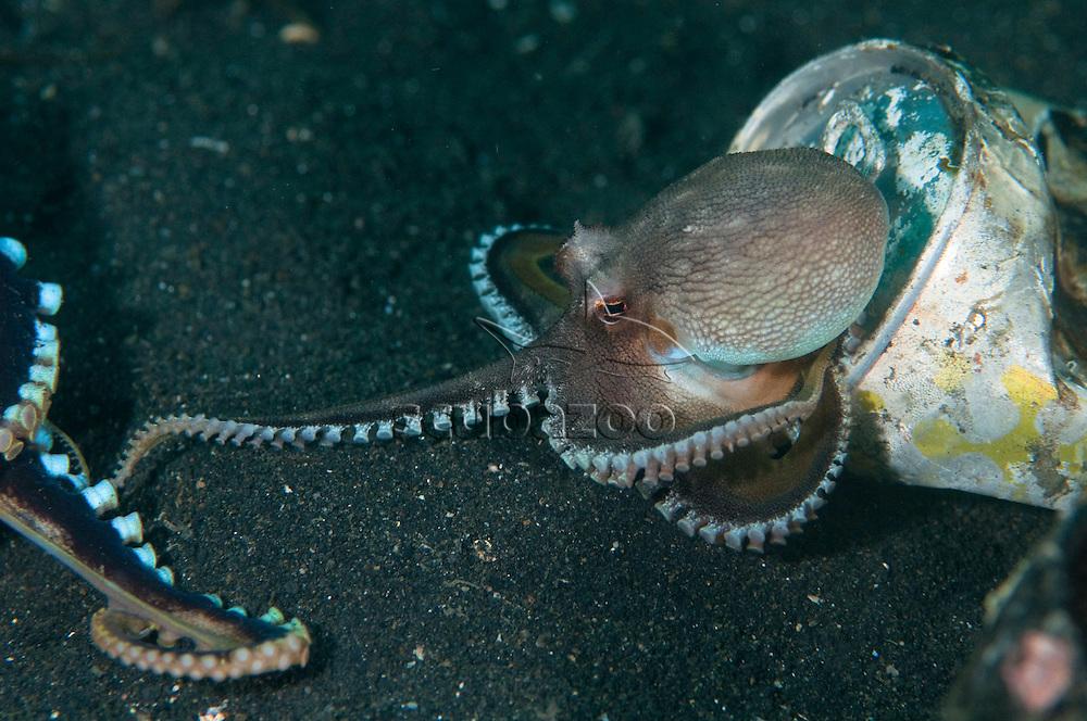 Coconut Octopus, Amphioctopus marginatus, attempting to mate, Lembeh Strait, North Sulewesi, Indonesia.