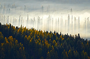 Western larch and evergreen forest in fall at sunrise as the sun burns through the fog. Yaak Valley in the Purcell Mountains, northwest Montana.
