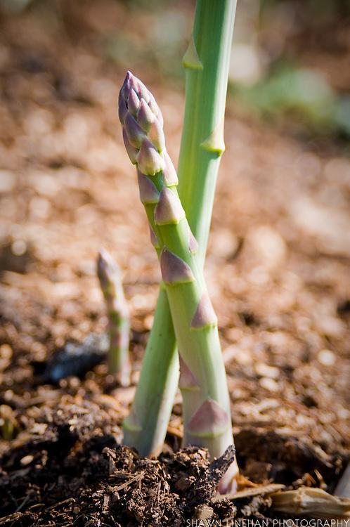 Asparagus grows in soil