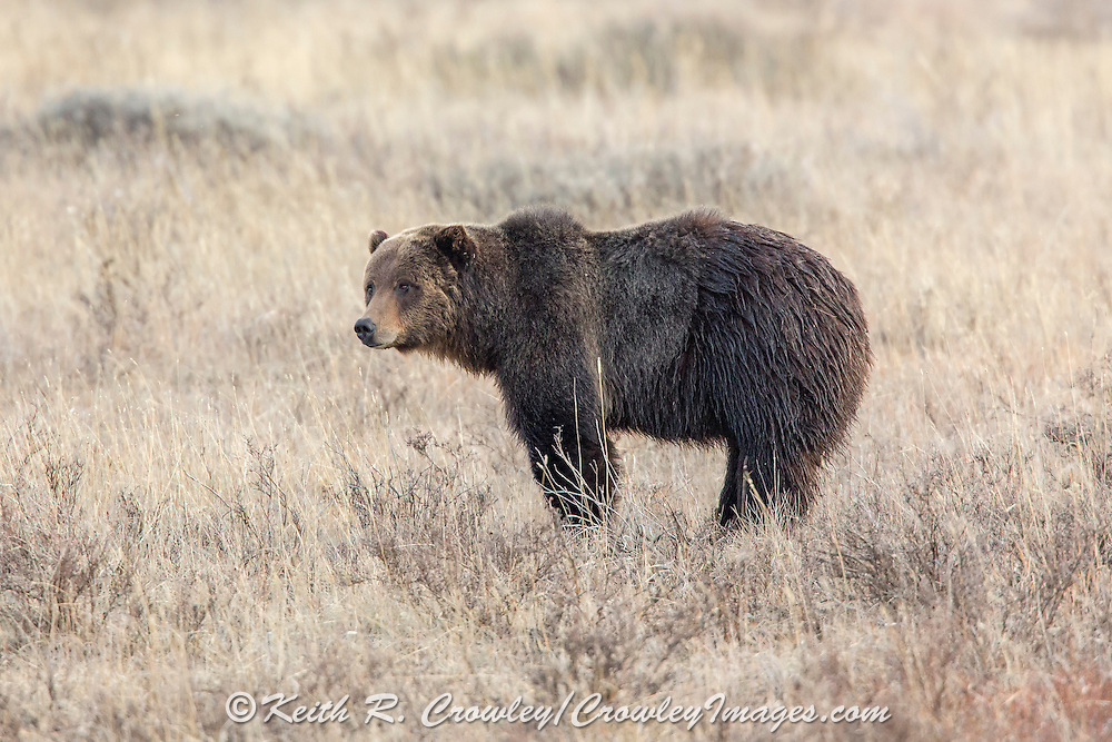 Grizzly bear (Ursus arctos horribilus) in habitat