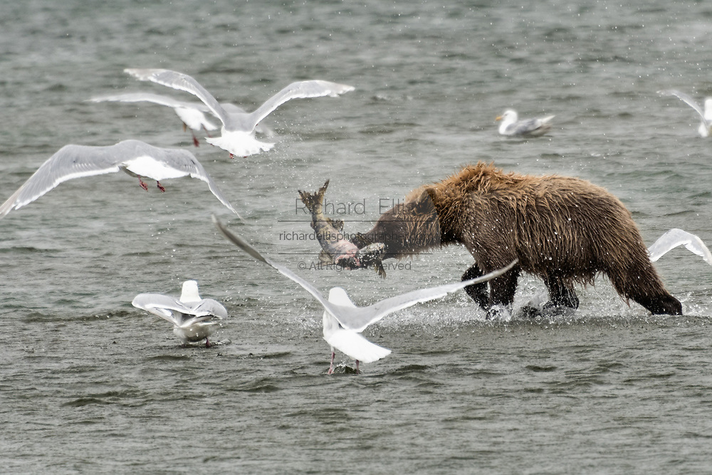 A brown bear sow catches chum salmon surrounded by gulls at the McNeil River State Game Sanctuary on the Kenai Peninsula, Alaska. The remote site is accessed only with a special permit and is the world's largest seasonal population of brown bears in their natural environment.