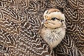 Francolin, Spurfowl, Quail, Partridges